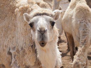 Camel looking at camera
