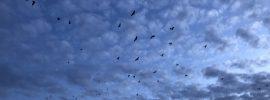 fruit bats flying against the evening sky