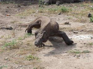 Komodo dragon stalking